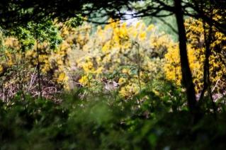Sika Deer in undergrowth